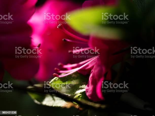 Foto de Flores De Azaleia Desabrochando Com Delicado Vermelhos Roxos Arbustos e mais fotos de stock de Agricultura