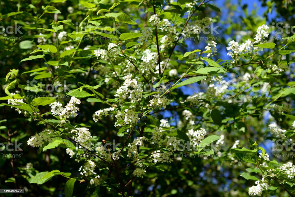 Blossoming bird cherry tree. zbiór zdjęć royalty-free