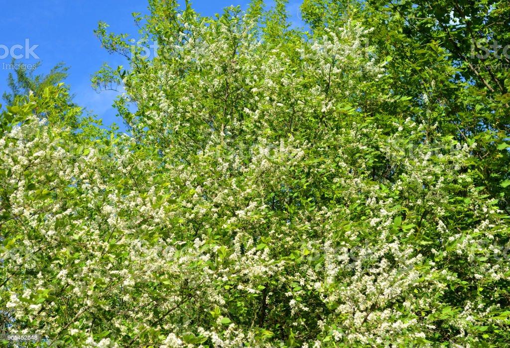 Blossoming bird cherry tree. zbiór zdjęć royalty-free