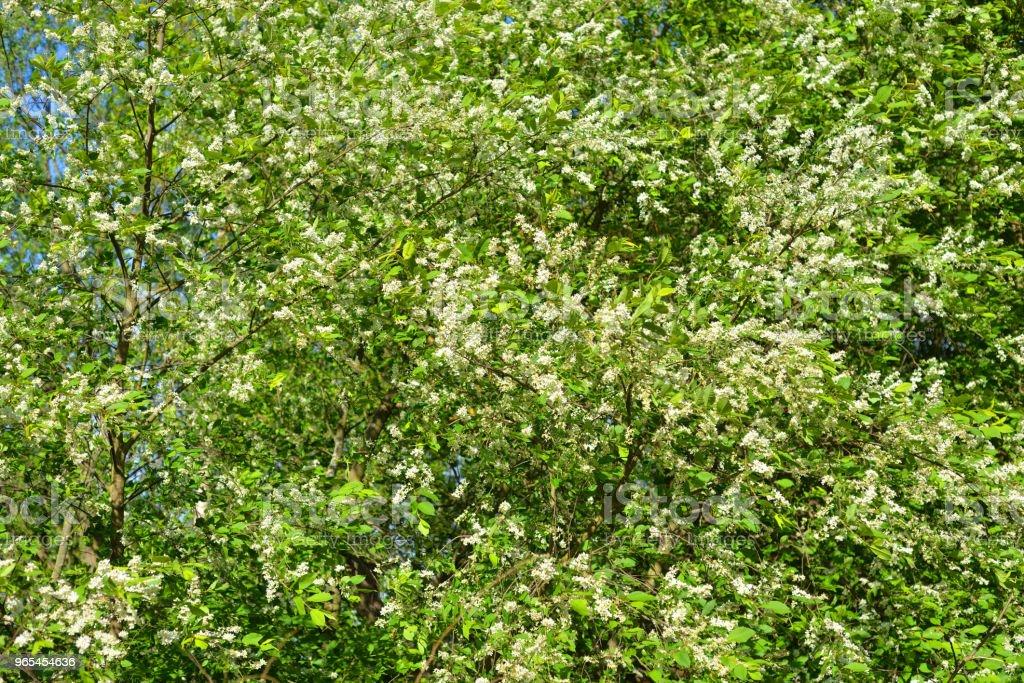 Blossoming bird cherry tree. royalty-free stock photo