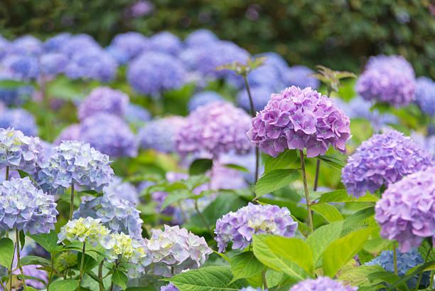 Blossoming blue and purple Hydrangea stock photo