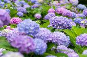 花の青と紫のアジサイ