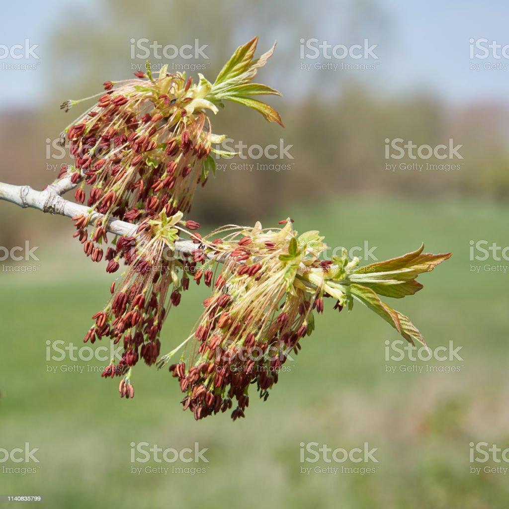 blühender Boxelder-Ahorn im Frühjahr – Foto
