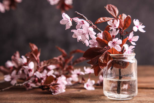 Blossoming branch of pissardi plum in a jar stock photo