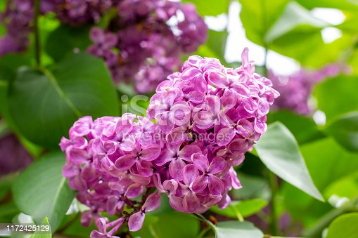 Blossoming branch of purple lilac Syringa vulgaris flowers on green leaves background in the spring park