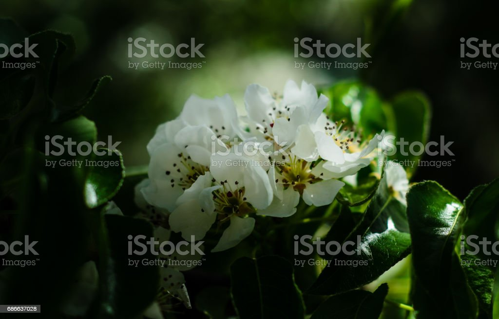 Blossoming branch of the apple tree royalty-free stock photo