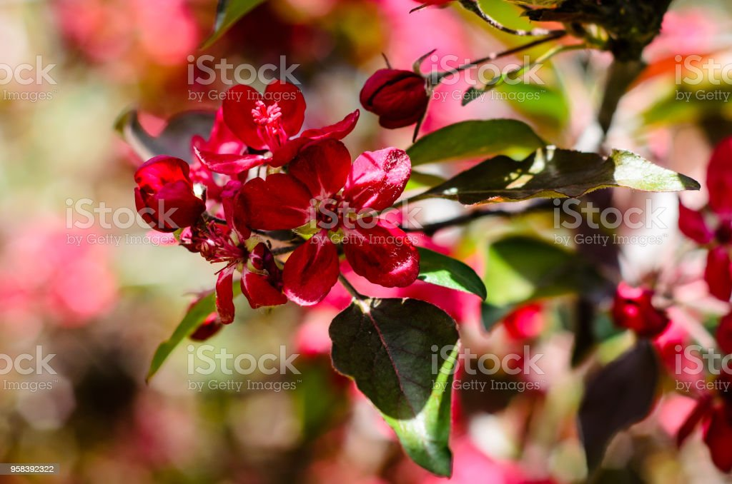 Blossoming Branch Of The Crabapple Tree Stock Photo