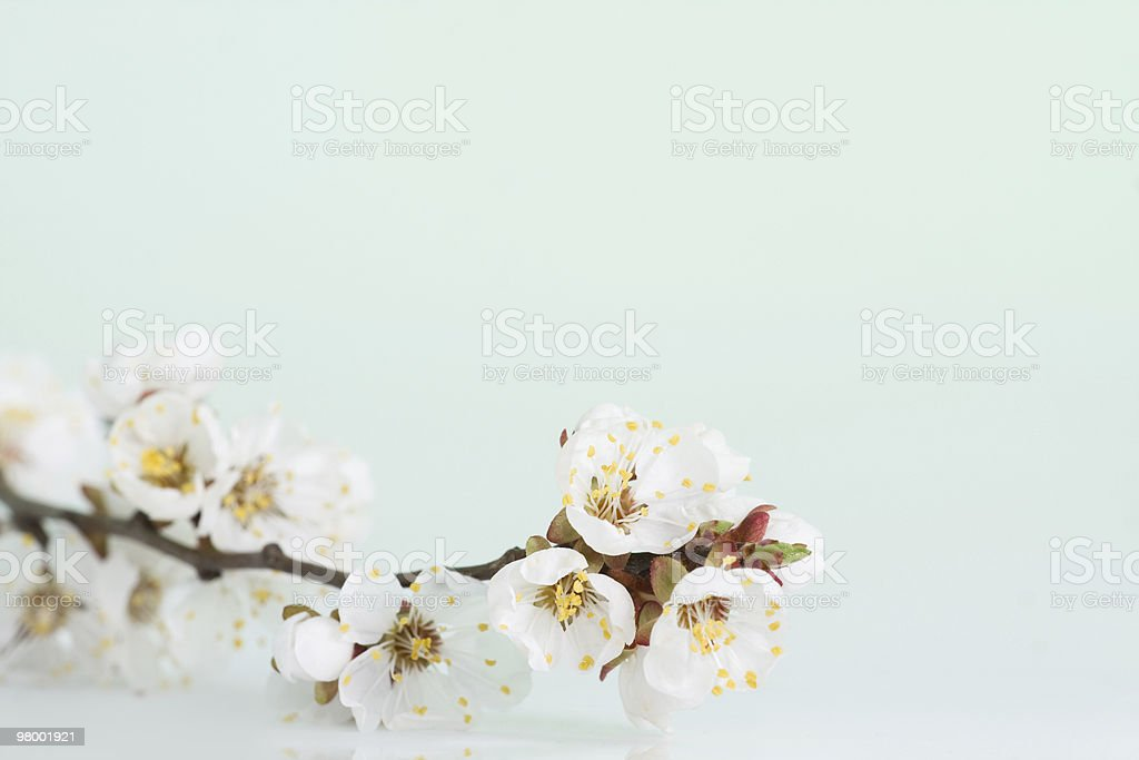 Blossoming branch royalty free stockfoto