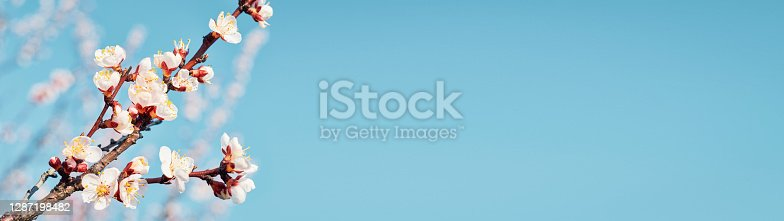 istock Blossoming branches apricots spring web banner 1287198482