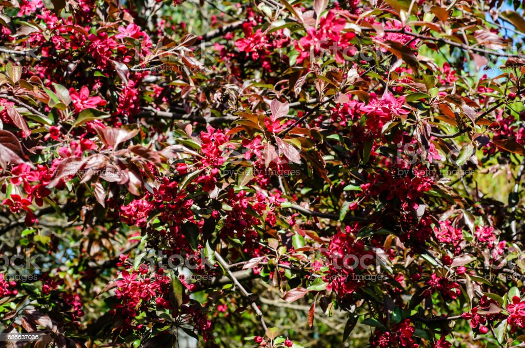Blossoming branches of the crabapple tree royalty-free stock photo