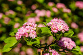 Blossoming branches of the hawthorn tree on spring
