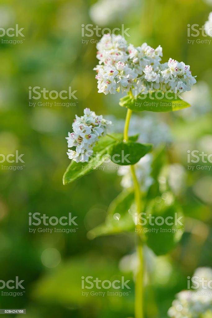 Blossoming Buckwheat field in the moring stock photo