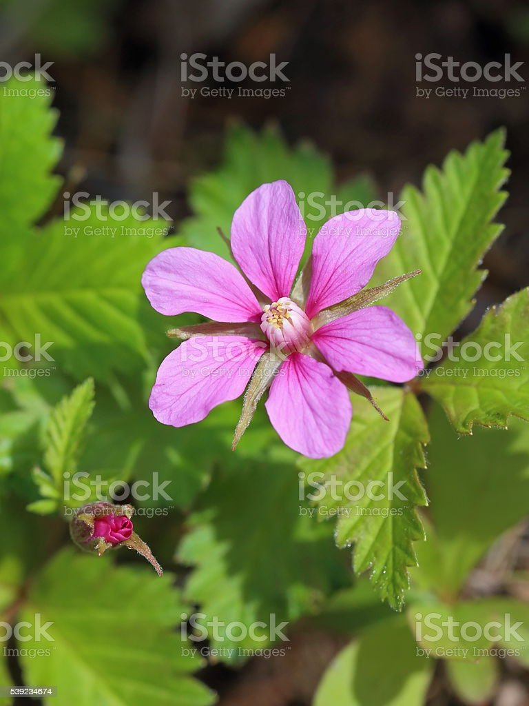 Blossoming bush of the Arctic raspberry royalty-free stock photo