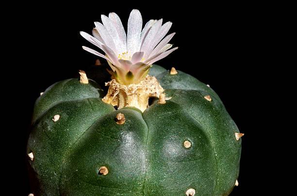 cornejo blossoming cactus peyote - mezcal fotografías e imágenes de stock