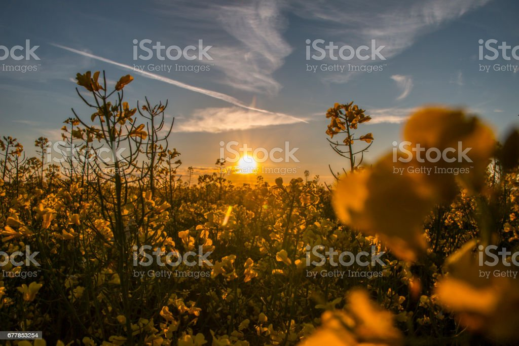 Blossoming canola at the sunset stock photo