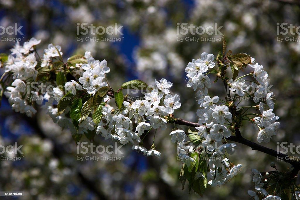 Blossoming Cherry Branch (XXXL) stock photo