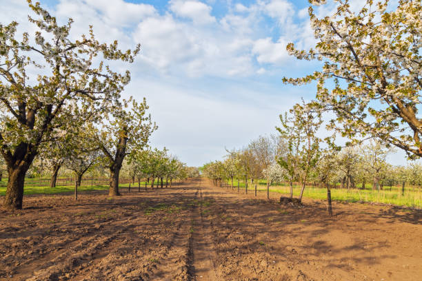 Blossoming cherry orchard in famous Hungarian village of Nagykörű stock photo