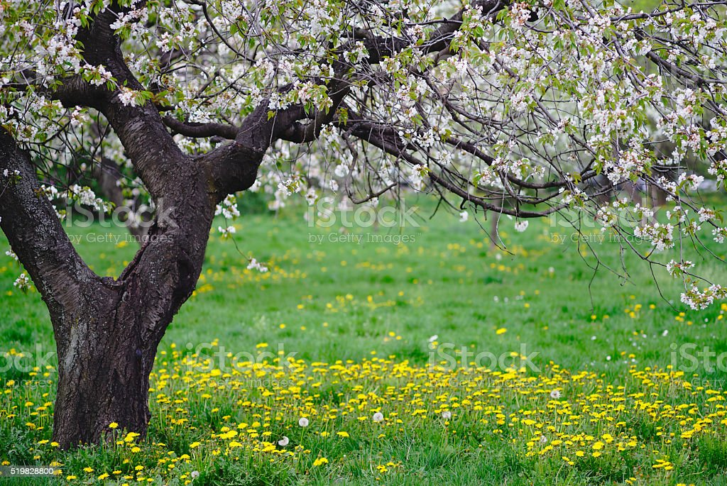 Image result for wild cherry tree pictures in meadow