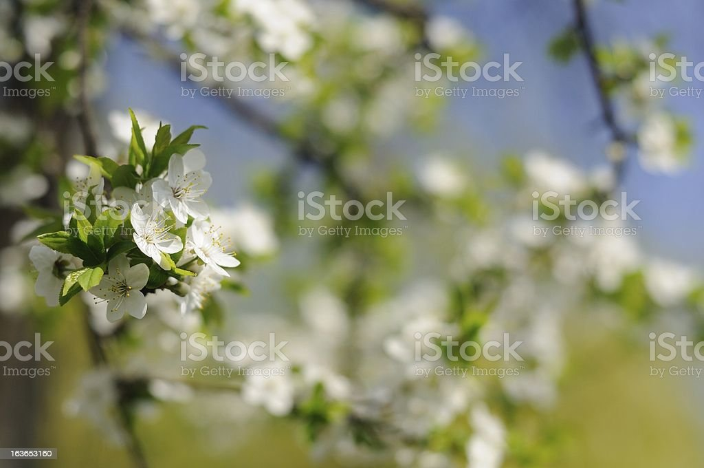Blossoming Cherry Tree with White Flowers in Spring royalty-free stock photo