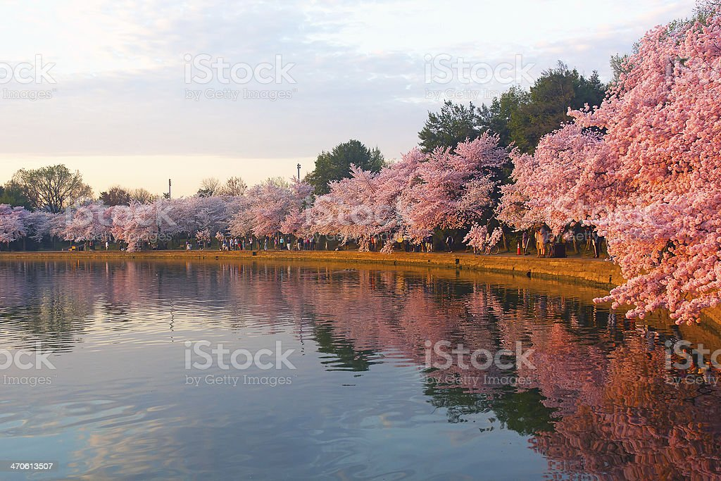 Blossoming cherry trees at dawn around Tidal Basin, Washington DC. stock photo