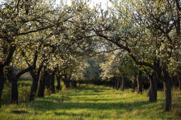 Blühende Kirschbäume, Deutschland – Foto