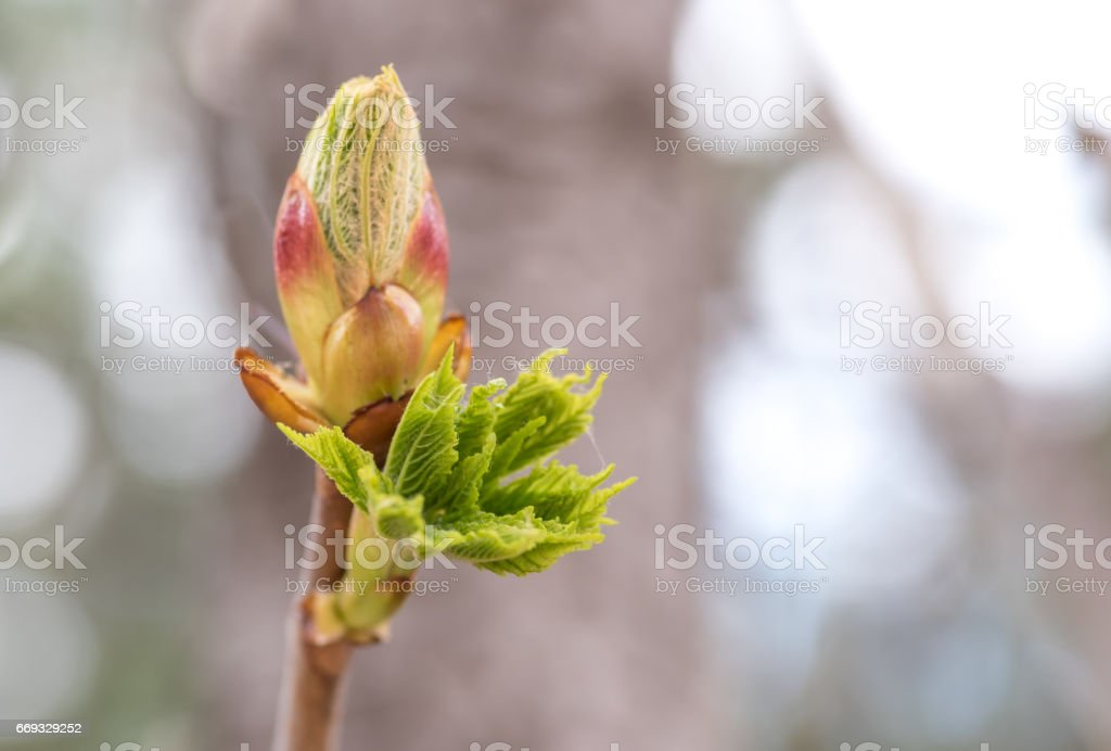 Blossoming chestnut tree bud - spring stock photo