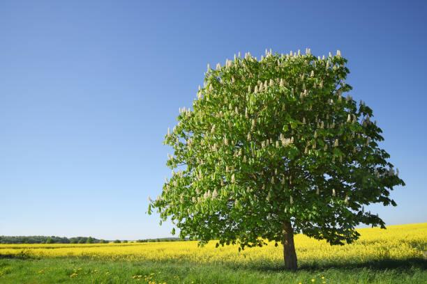 blühenden kastanienbaum auf einem gelben rapsfeld gegen den klaren, blauen himmel, schöne landschaft mit textfreiraum - kastanientiere stock-fotos und bilder