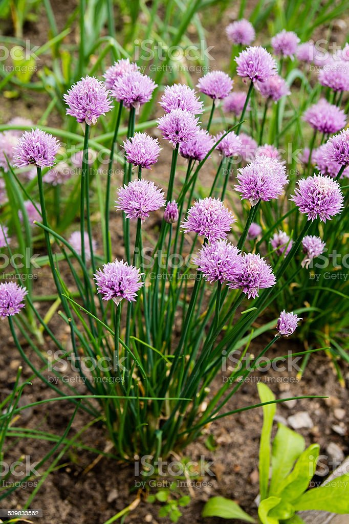 Blossoming chives stock photo
