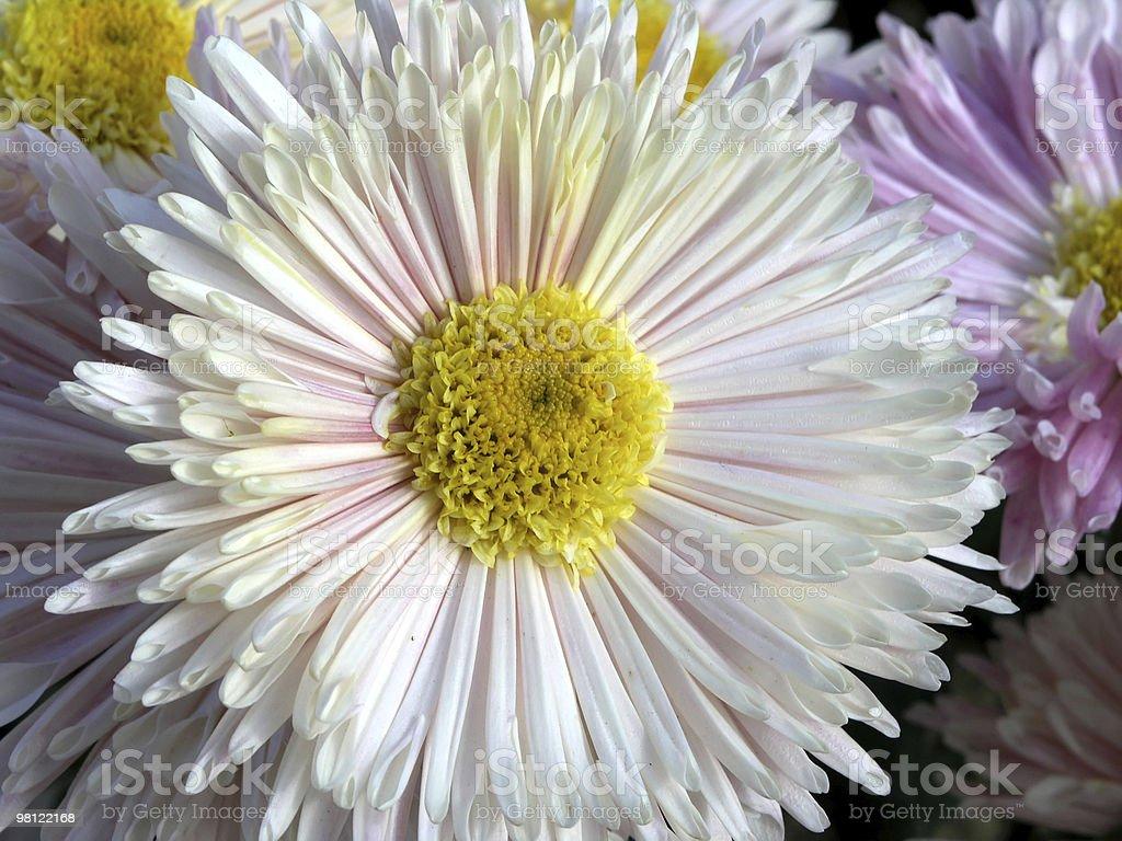 Bocciolo di Crisantemo foto stock royalty-free