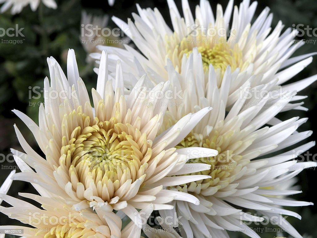 blossoming 국화 royalty-free 스톡 사진
