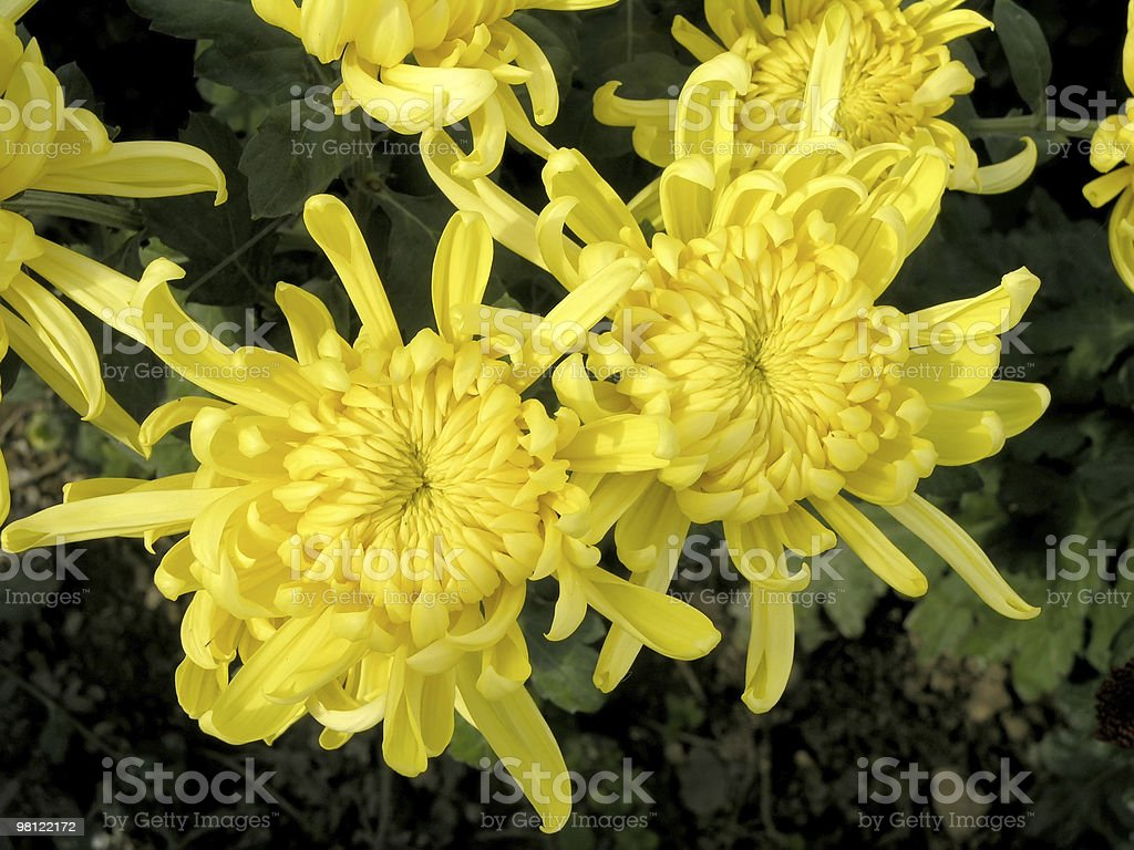 blossoming chrysanthemum royalty-free stock photo