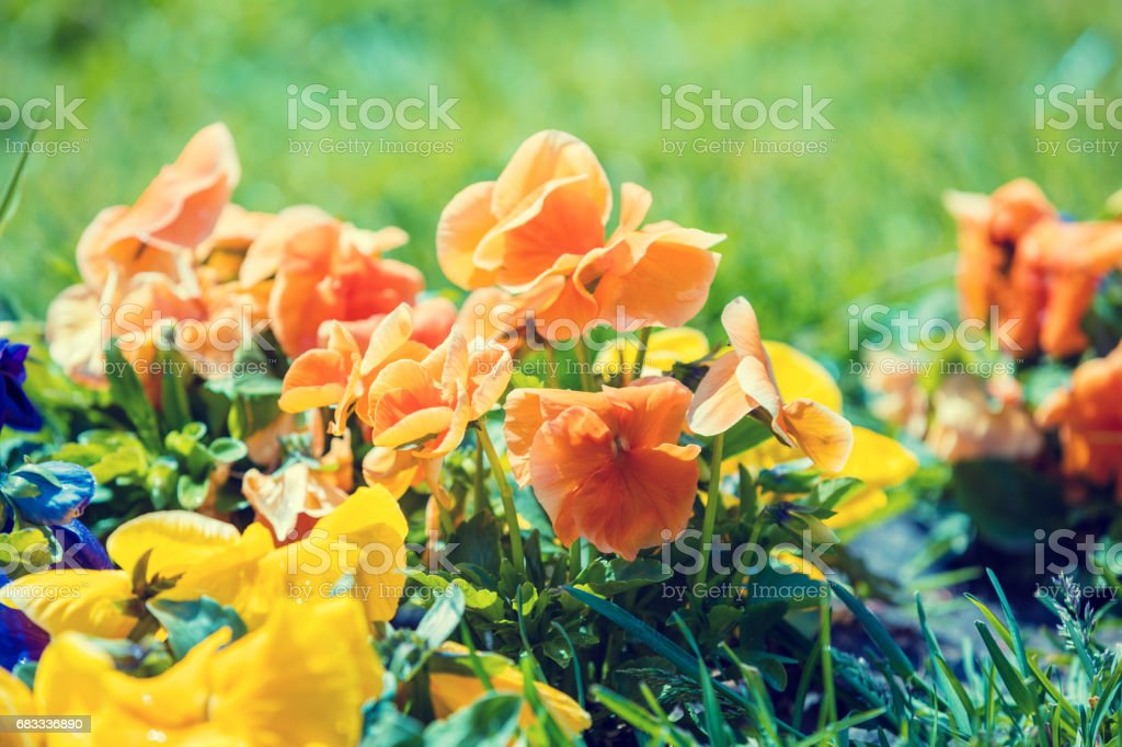 Blossoming colorful viola flowers in the garden royalty-free stock photo
