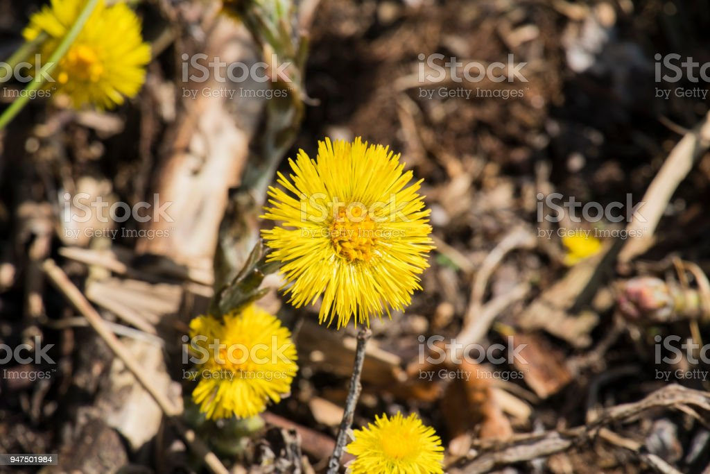 Blossoming coltsfoot. Bright yellow spring flowers of coltsfoot (Tussilago farfara) stock photo