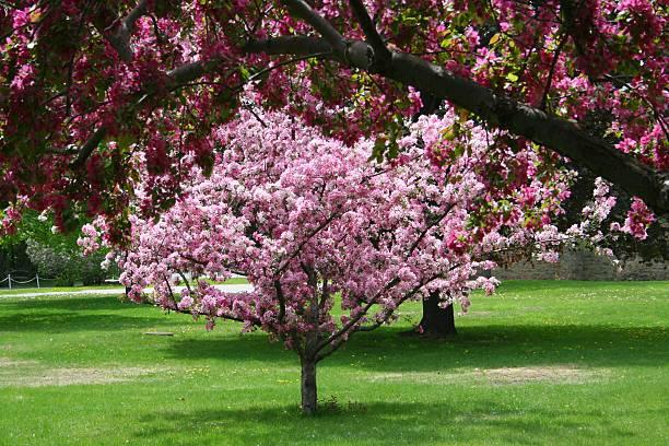 Blossoming Crab Apple Tree stock photo