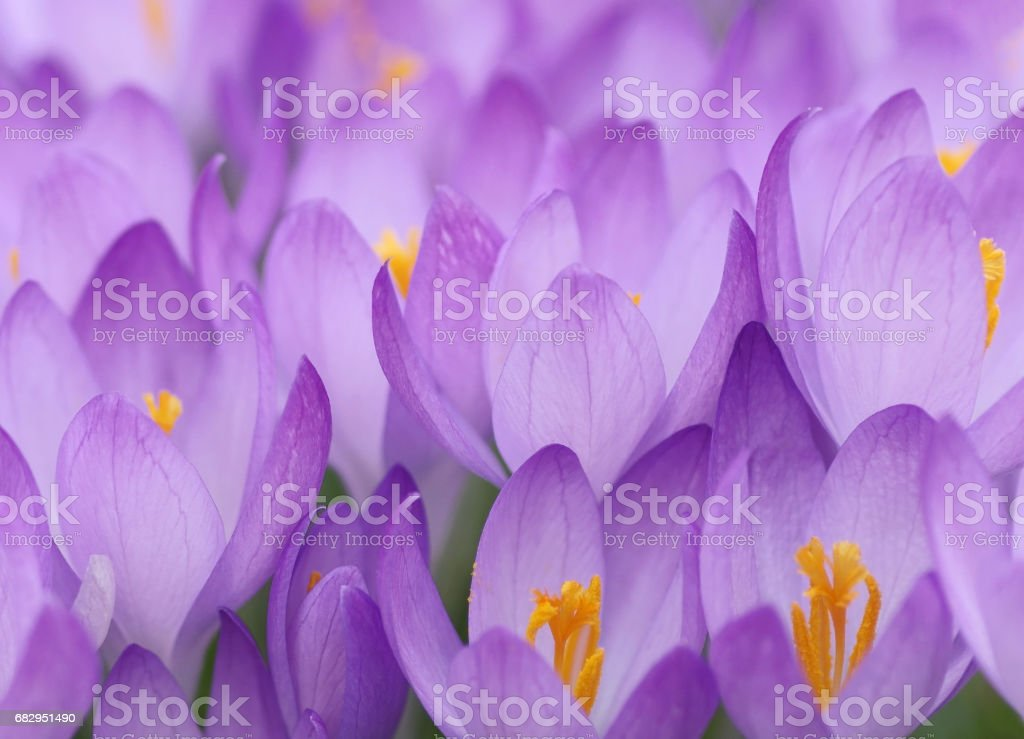 Blossoming crocuses stock photo