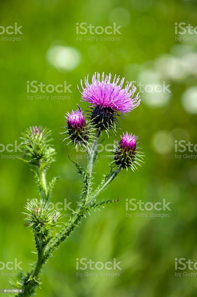 Blossoming curly plumeless thistle from close stock photo