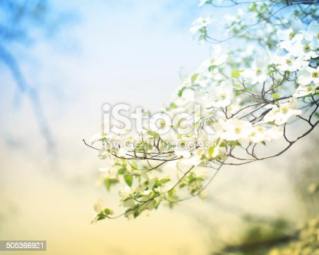 Flowering spring dogwood tree in vintage style