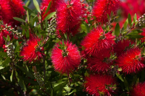 Blossoming flowers of callistemon - foto stock