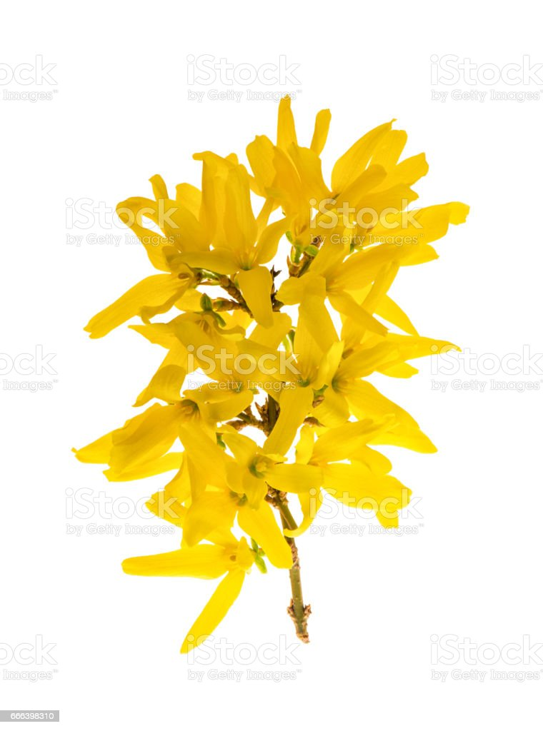 Blossoming forsythia Spring flowers white background stock photo