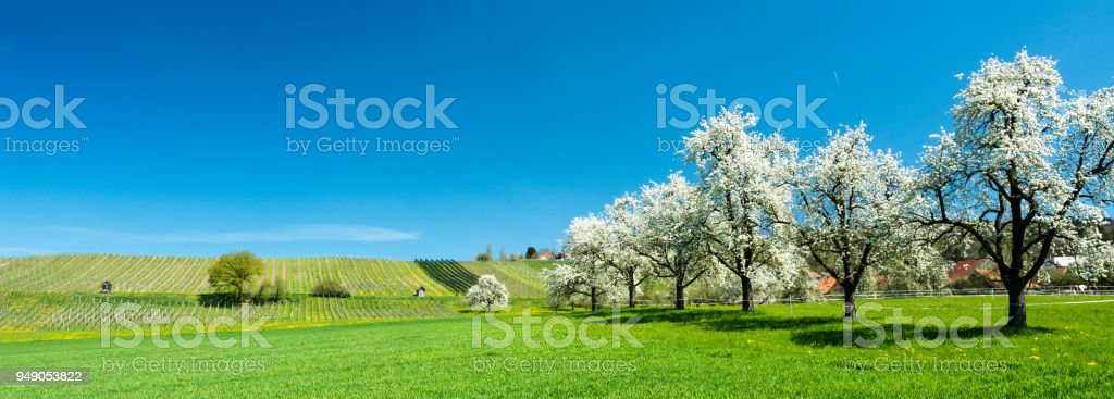 blossoming fruit trees and orchard in a green field with yellow dandelions and a small vineyard in the background stock photo