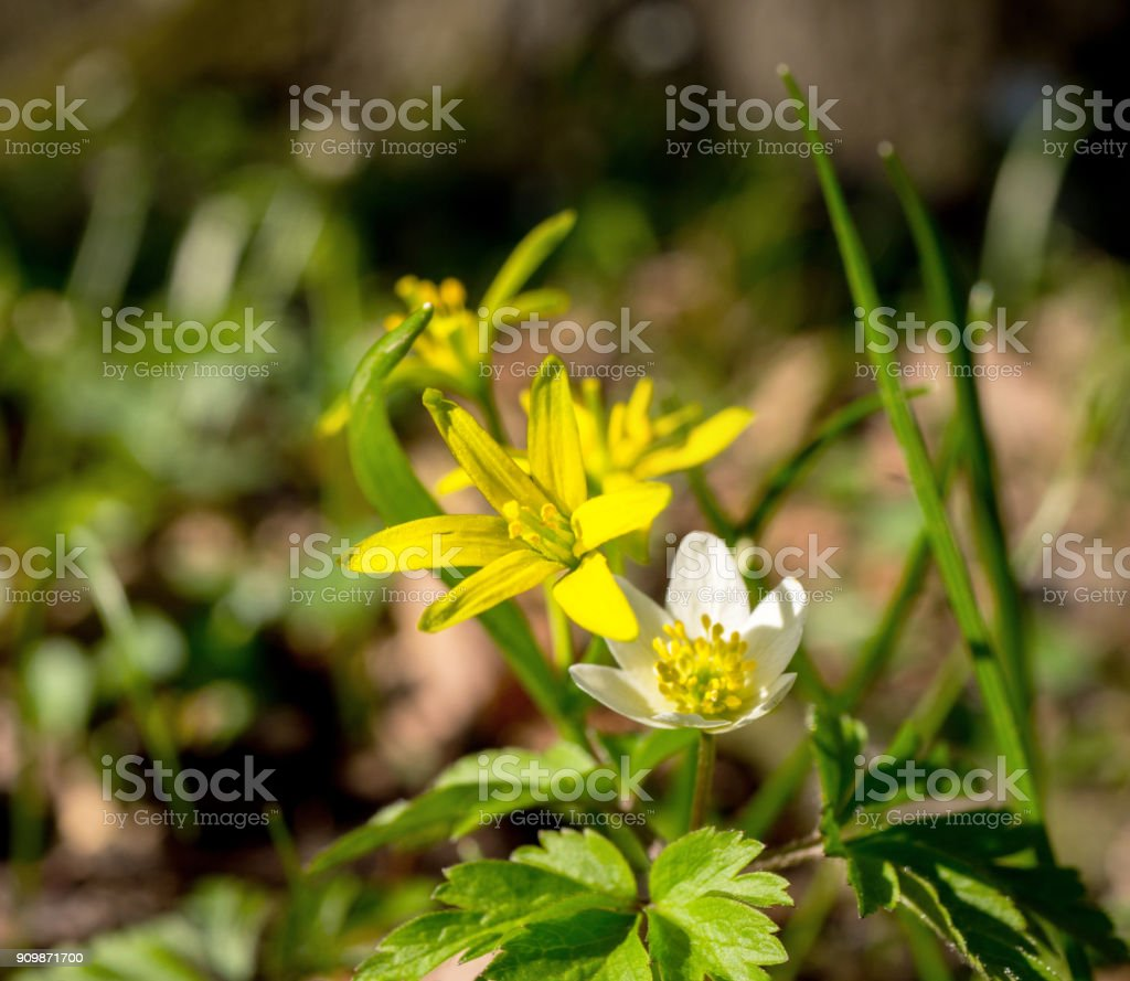 Blossoming Gagea Yellow (Gagea Lutea) with an anthill nectar in the April forest stock photo