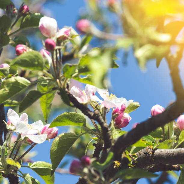 Blossoming garden tree, the arrival of spring stock photo