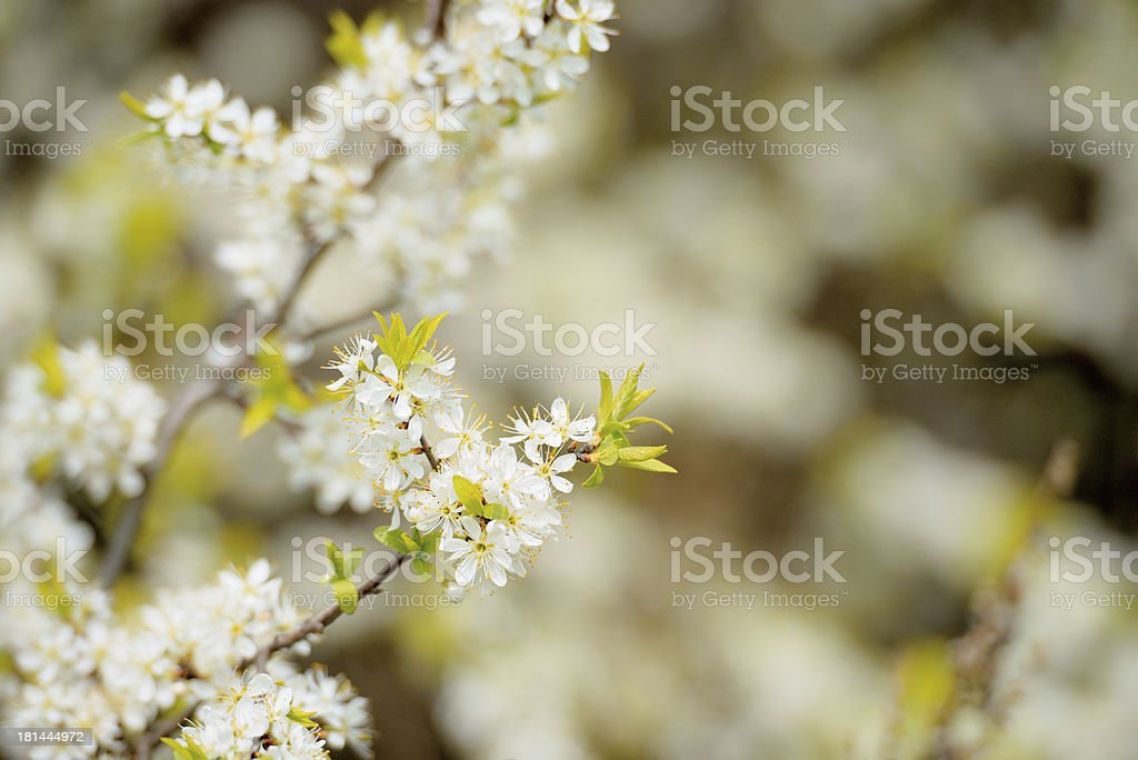 Blossoming hawthorn bushes royalty-free stock photo