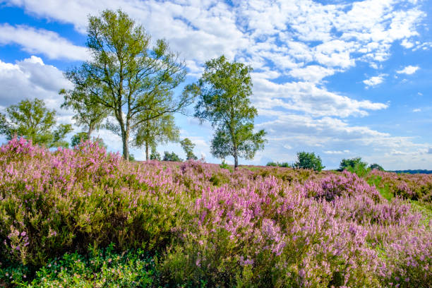 Blossoming Heather plants in a heathland nature reserve in summer - foto stock