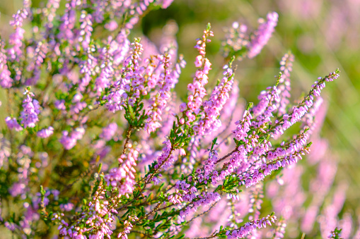 Blossoming Heather plants in a heathland nature reserve in summer