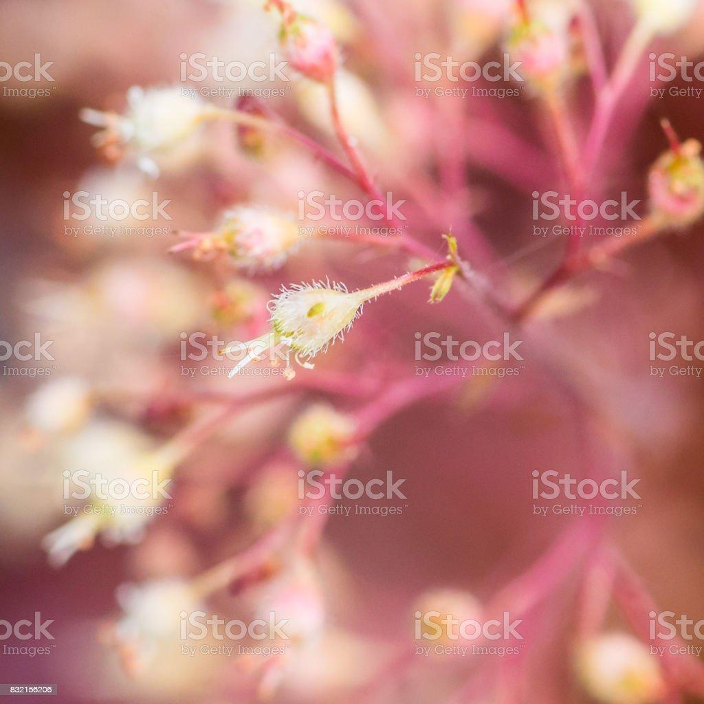 Blossoming Heuchera stock photo