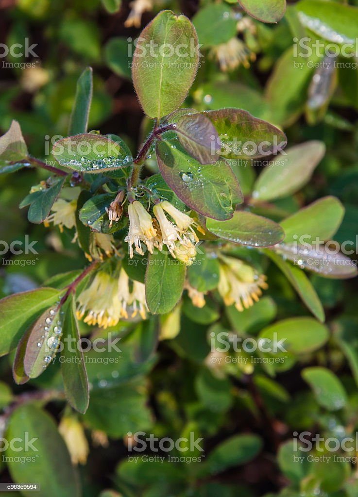 Blossoming honeysuckle royalty-free stock photo
