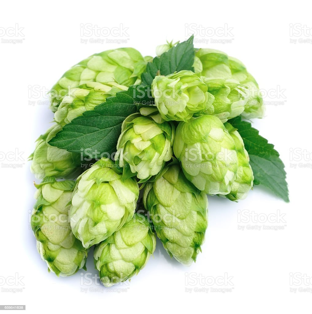Blossoming hop cones stock photo