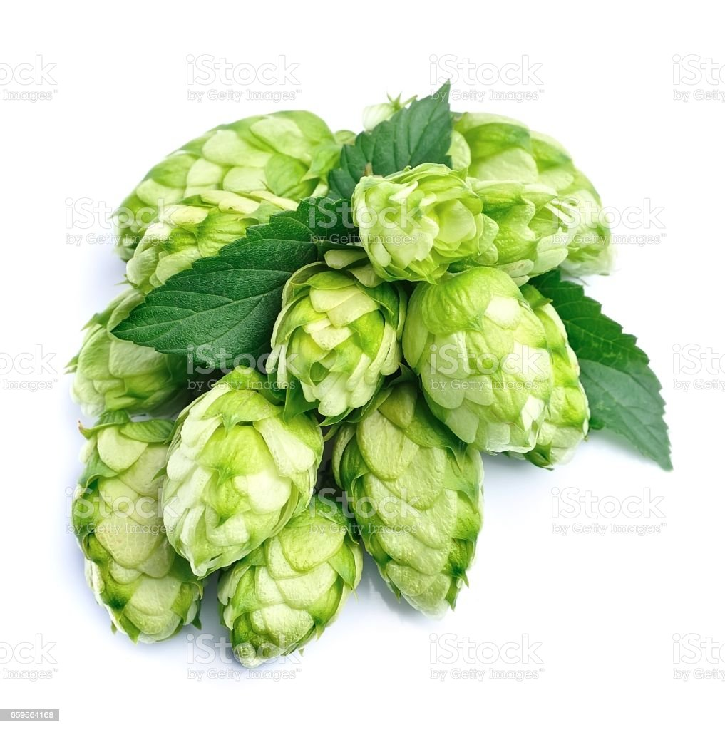 Blossoming hop cones . stock photo