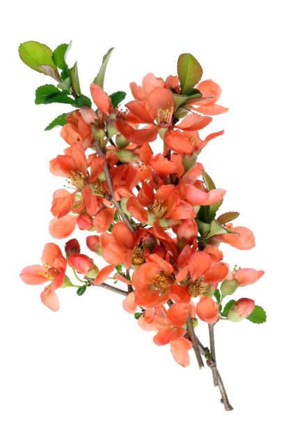 花がボケ (ボケ) のブッシュの花の小枝。 ストックフォト